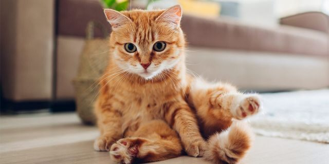 Cat owners can also try to replicate the experience at home.  (IStock)