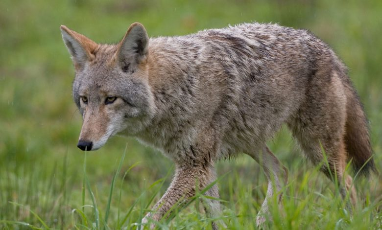 Rockville: A wolf attacked two women, a boy with rabies