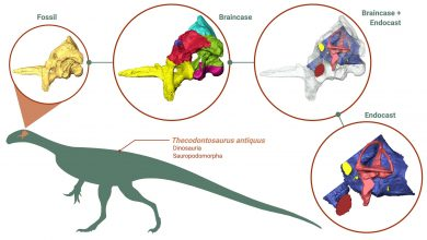 Photo of Groundbreaking reconstruction reveals surprising insights into early dinosaur brains, eating habits and agility