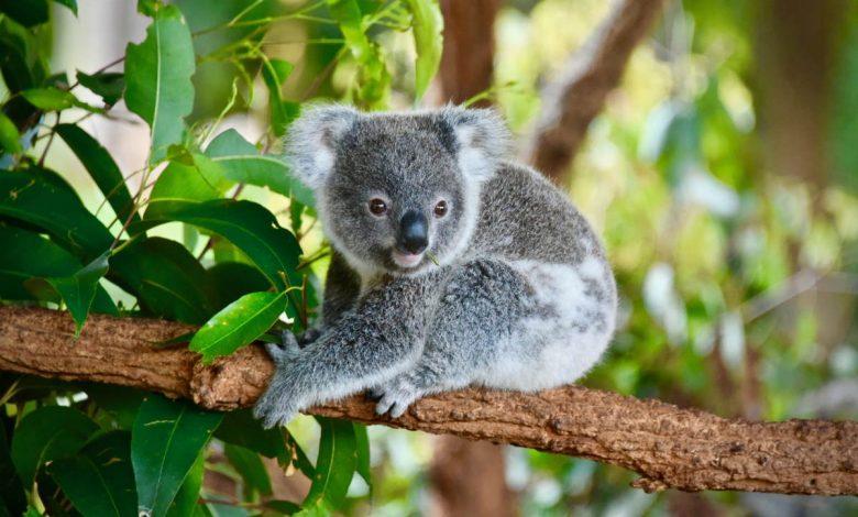 ospedale mobile australia animali selvatici