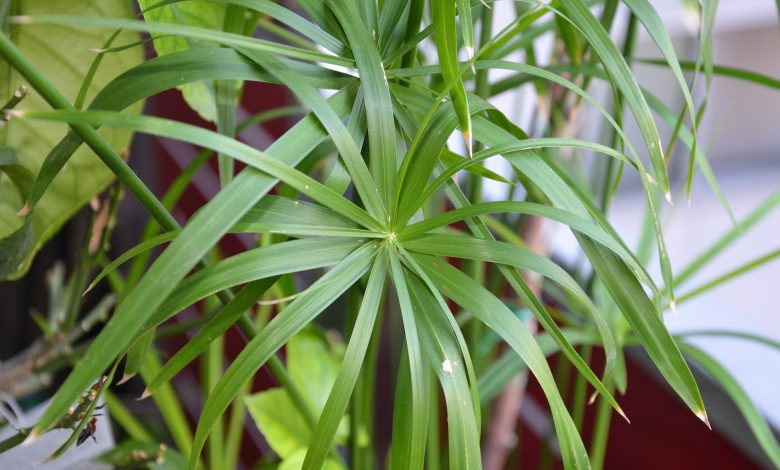 A practically timeless houseplant, always green and requiring no care