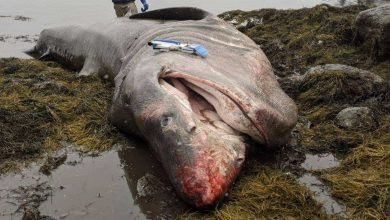 Photo of A truck-sized shark washed up on Maine Beach.  How did she die?
