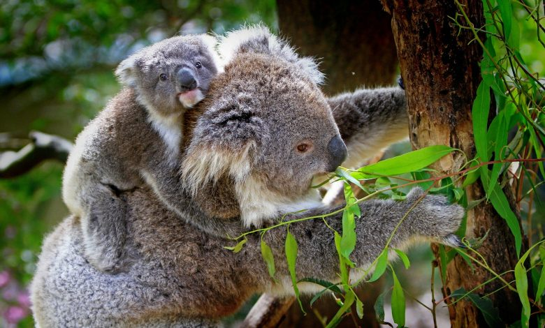 Australia, after a year of fires, 49 species have lost 80% of their habitat