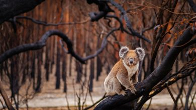 Photo of Catastrophe Australia lost billions of animals