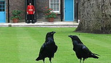 Photo of Crow Merlin disappears from the Tower of London, and the kingdom fears a tragic prophecy