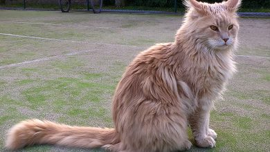Photo of Discover the largest and largest cat in the world