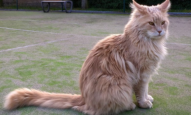 Discover the largest and largest cat in the world
