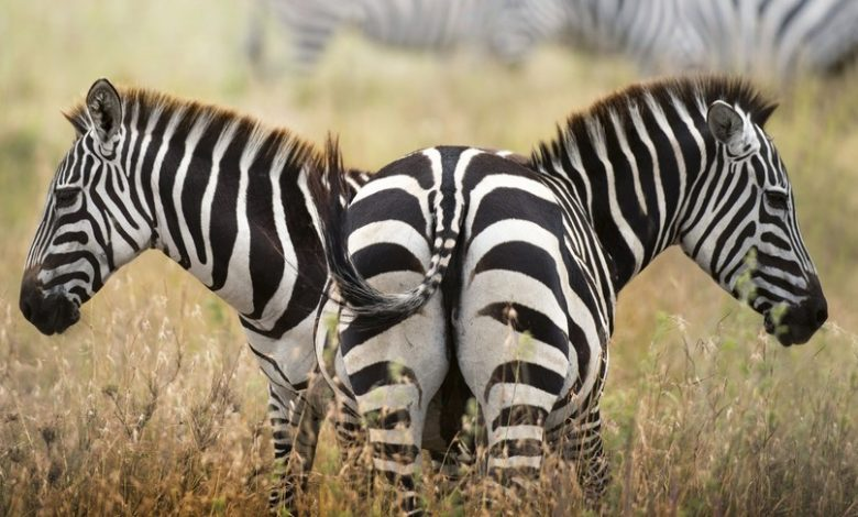 In Africa, zebras are found with polka dots and a golden coat