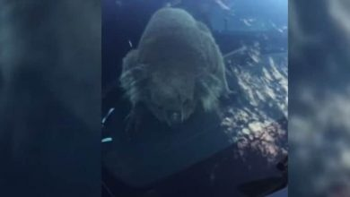 Photo of Australia, koala collides with five cars and sits behind the wheel video