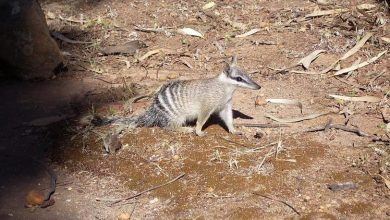 Photo of In Australia, the number of numbats is reduced to a thousand specimens, and reserves are needed to save them