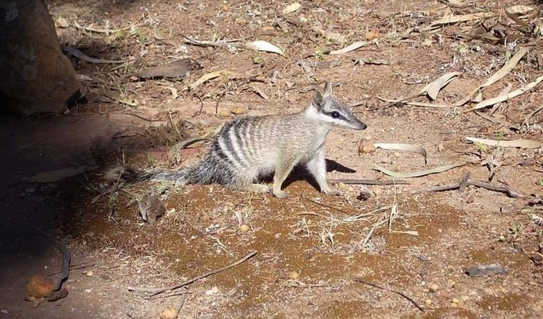In Australia, the number of numbats is reduced to a thousand specimens, and reserves are needed to save them
