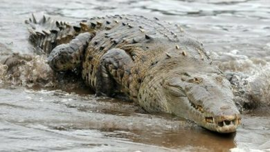 Photo of A four-meter long crocodile was killed after it devoured a fisherman in Australia