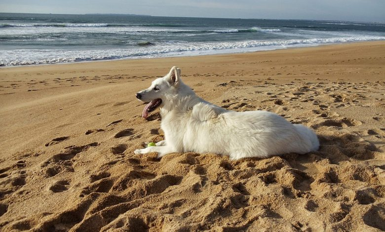 The beautiful dog, white as snow and easy to train