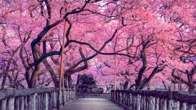 Photo of In Japan and the United States, climate change has caused cherry trees to bloom early