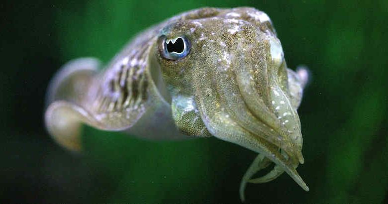 Cuttlefish know how to exercise self-control