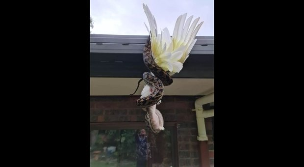 Photo of Python devours a parrot on the roof of a house in Australia: shocking photos