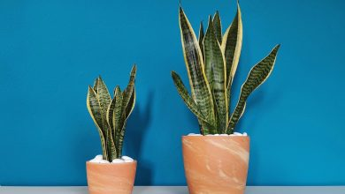 Photo of Unveiled 3 mini houseplants that improve and purify the air we breathe