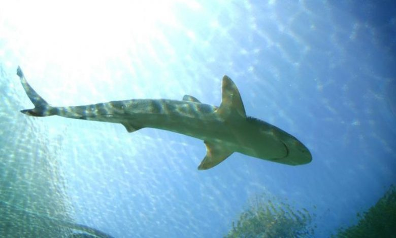 Australia, seven fatal shark attacks: Not much happened in 80 years