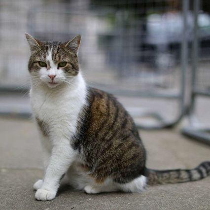 Discover Covid, the English variant on a cat: the first case in Italy