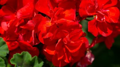 Photo of Here's a foolproof way to get many geraniums by spending little or nothing