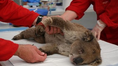 Photo of In eastern Australia, koalas can become extinct within 30 years