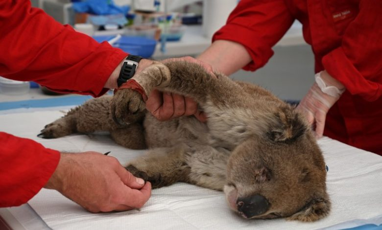 In eastern Australia, koalas can become extinct within 30 years