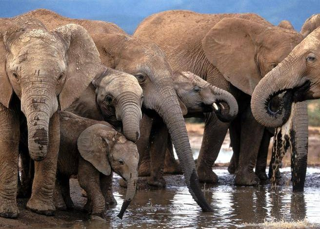 South Africa, a poacher trampled by elephants dies as he flees from zookeepers