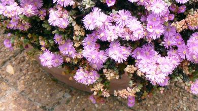 Photo of A streak of gorgeous pink flowers with a hardwearing succulent perfect for gardens and porches