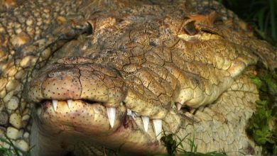 Photo of Australia, a fossil skull of an extinct crocodile discovered millions of years ago