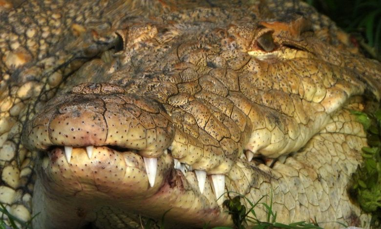 Australia, a fossil skull of an extinct crocodile discovered millions of years ago