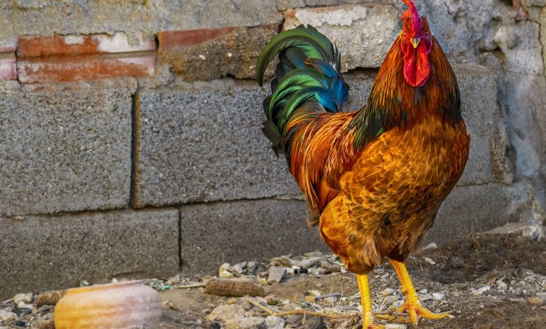 Here's what we can do if a neighbor's rooster disturbs our sleep and peace by making us wake up every morning with a headache.