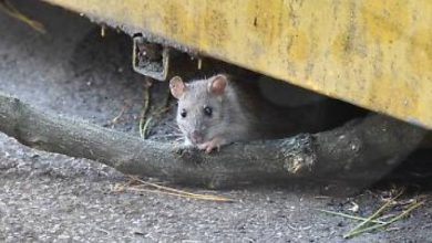 Photo of Mice swept Australia: millions of dollars in damages are alarming across the country