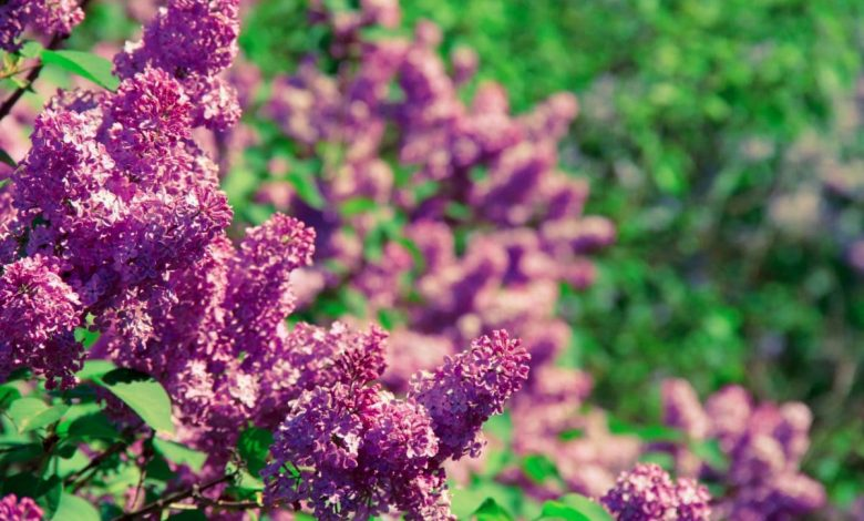 Summer Lilac, the summer plant that everyone should have in their garden, is easy to grow in bloom and will leave you speechless.