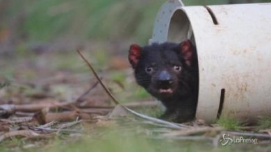 Photo of Tasmanian Devil, a dog born in Australia three thousand years later