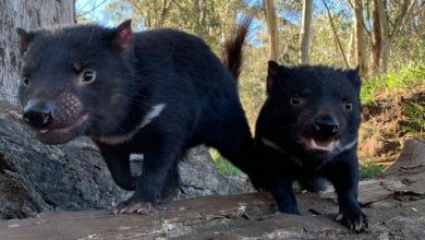 Photo of Tasmanian Devil, more than 3 thousand years later 7 dogs were born in Australia – Corriere.it