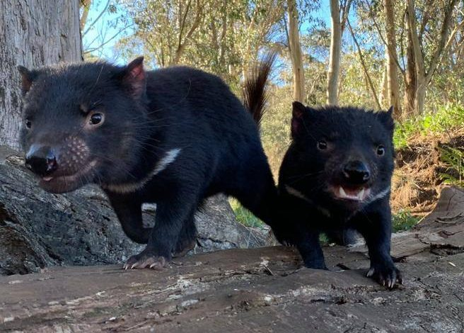 Tasmanian Devil, more than 3 thousand years later 7 dogs were born in Australia - Corriere.it