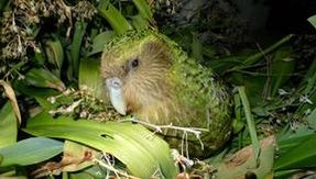 The kakapo parrot that stinks and can't fly has its own way to save itself from extinction