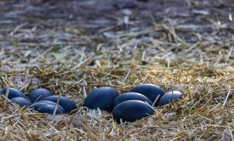 A huge dwarf egg that became extinct 200 years ago was found in Australia