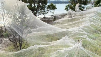 Photo of Australia was covered in cobwebs from thousands of spiders