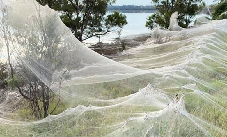 Australia was covered in cobwebs from thousands of spiders
