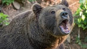 A man was killed by a bear in a Slovak forest for the first time in more than 100 years