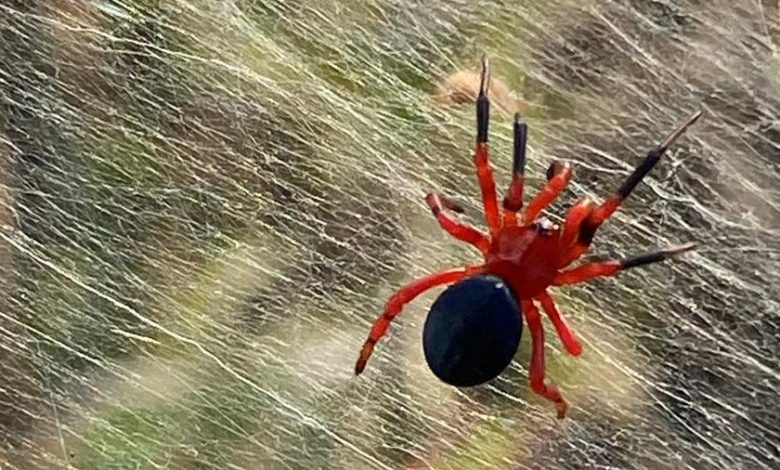 Spiders in Australia: There are millions of them and their giant strands cover it all