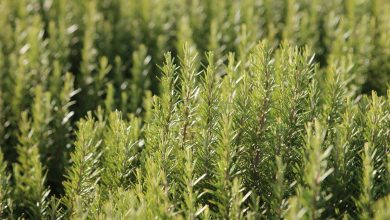 Photo of Rosemary: discover anti-cancer properties