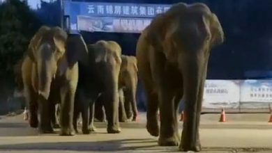 Photo of China, elephant descent frightens Kunming's 7 million residents – Corriere.it