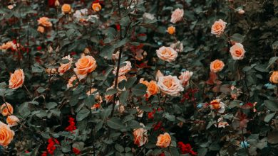 Photo of Few people know that in order to have healthy and fragrant roses and avoid this dangerous disease, it is necessary to use a natural, homemade product