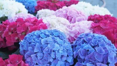 Photo of For hydrangeas and geraniums that are always healthy, beautiful and bright, never underestimate this very cliched act that many mistake without knowing it