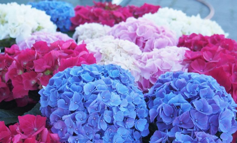 For hydrangeas and geraniums that are always healthy, beautiful and bright, never underestimate this very cliched act that many mistake without knowing it