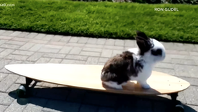 Cookie, emotional support bunny who skates