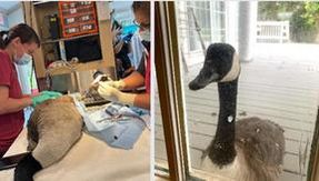 The love story between Arnold and Amelia: a goose appeared alone at the veterinary clinic where her partner was hospitalized