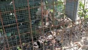 A fox cub used as bait dies in a cage